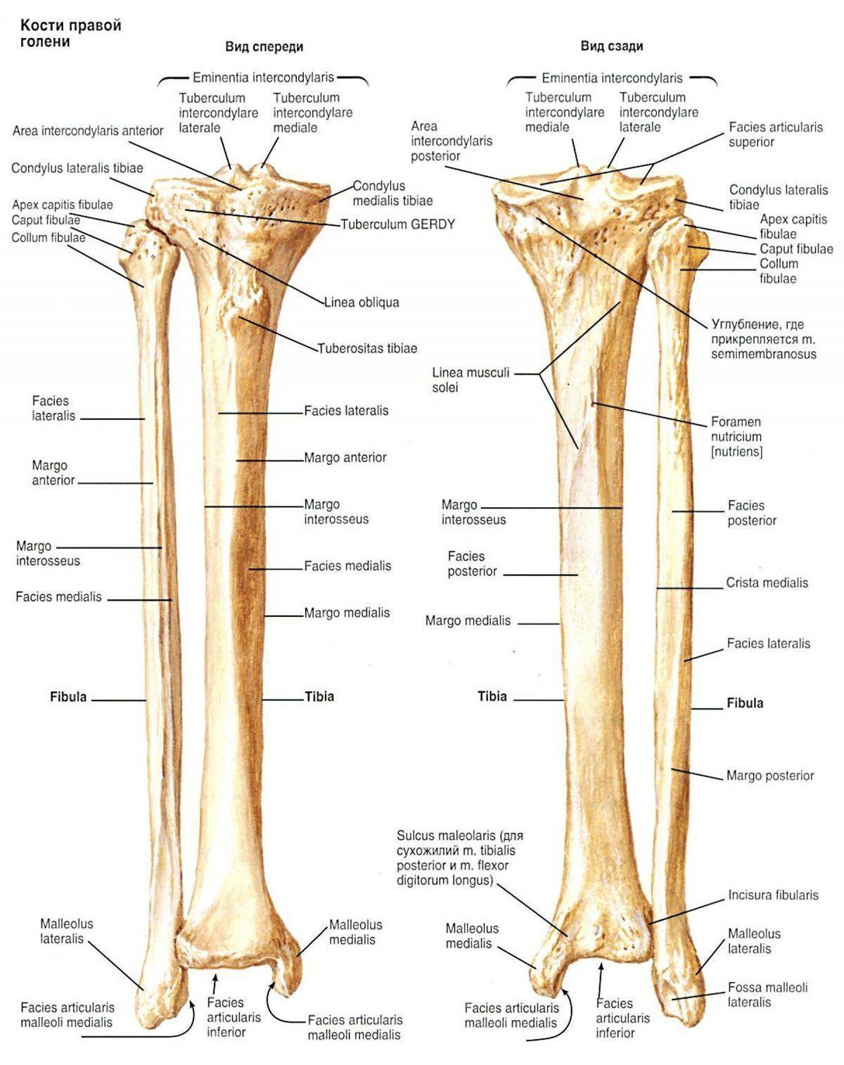 Anatomy Humerus Bone 5700543 Follow4morefo